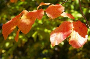 Persische Parrotie Baum Laub rot gelb Parrotia persica 01