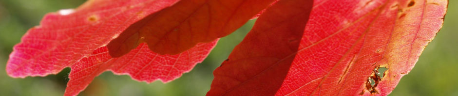 persisches-eisenholz-laub-rot-gelb-parrotia-persica