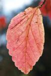 Persische Parrotie Baum Laub rot gelb Parrotia persica 03