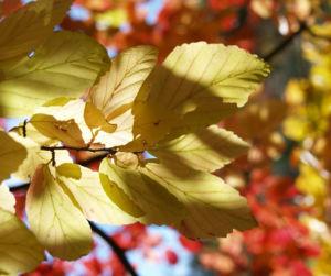 Persische Parrotie Baum Laub rot gelb Parrotia persica 04