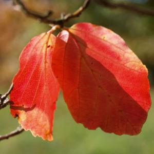 Persische Parrotie Baum Laub rot gelb Parrotia persica 05