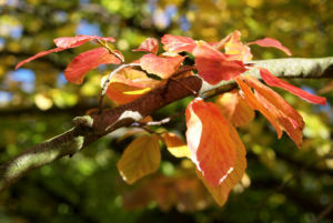 Bild: Persische Parrotie Baum Laub rot gelb Parrotia persica