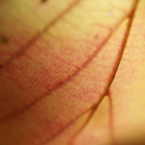 Persische Parrotie Baum Laub rot gelb Parrotia persica 11