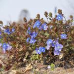 Persischer Ehrenpreis Bluete blau Veronica persica 01
