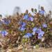 Zurück zum kompletten Bilderset Persischer Ehrenpreis Blüte blau Veronica persica