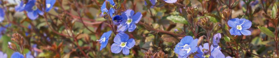 Anklicken um das ganze Bild zu sehen Persischer Ehrenpreis Blüte blau Veronica persica
