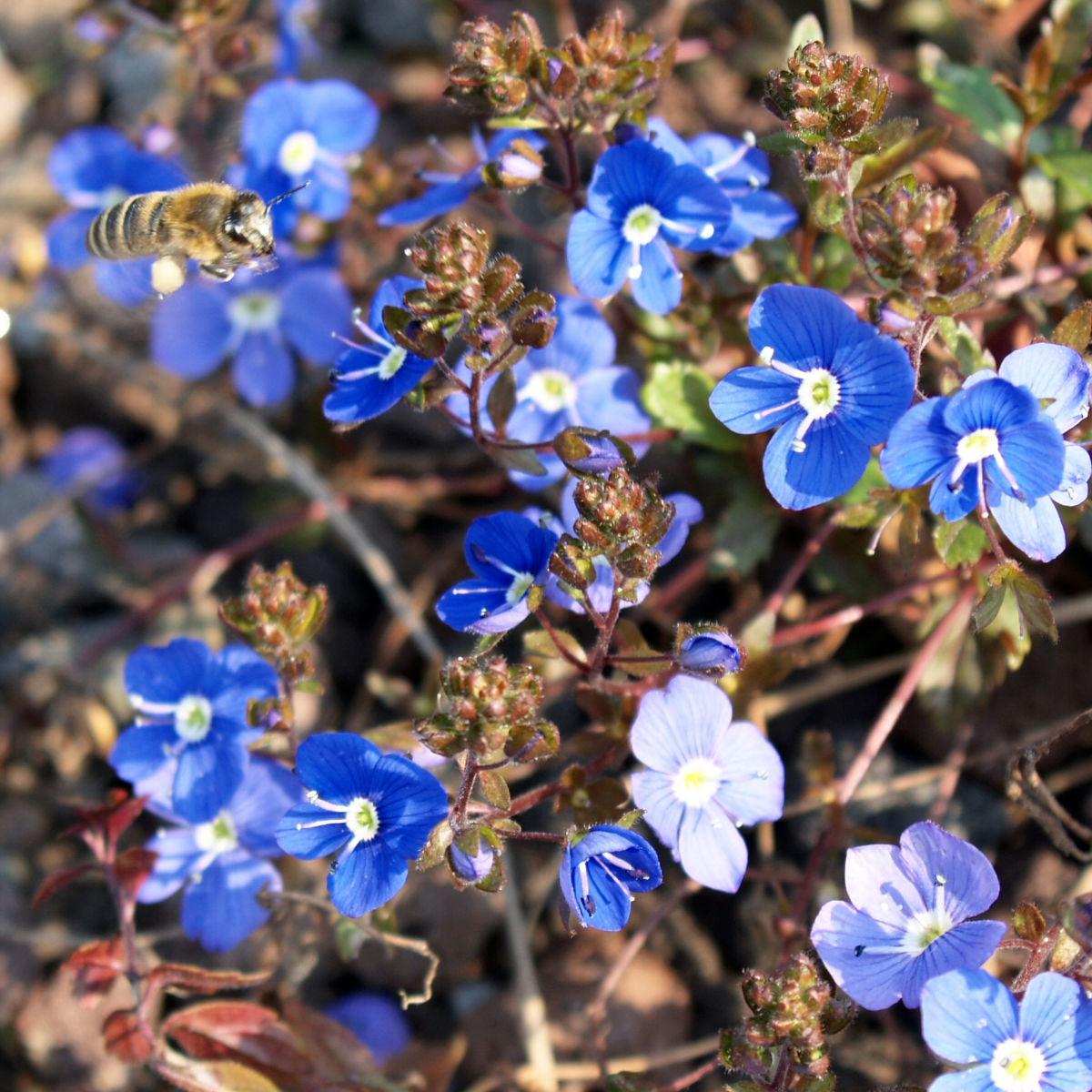 Persischer Ehrenpreis Bluete blau Veronica persica