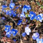 Persischer Ehrenpreis Bluete blau Veronica persica 02