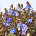 Persischer Ehrenpreis Bluete blau Veronica persica 04