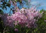 Persischer Flieder Bluete pink Syringa x persica 03 1