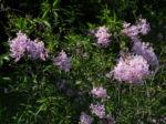 Persischer Flieder Bluete pink Syringa x persica 06 1