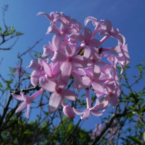 Bild: Persischer Flieder Bluete pink Syringa x persica