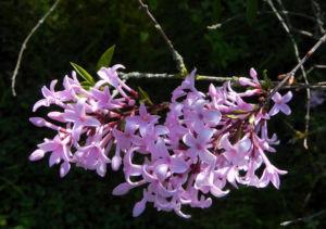 Persischer Flieder Bluete pink Syringa x persica 08