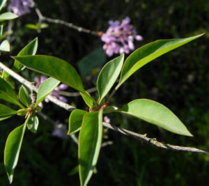 Persischer Flieder Bluete pink Syringa x persica 11