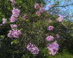 Persischer Flieder Bluete pink Syringa x persica 12