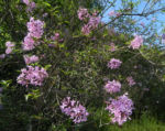 Bild: Persischer Flieder Blüte pink Syringa x persica