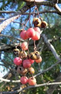 Bild: Peruanischer Pfefferbaum Frucht rot Blatt gruen Schinus molle