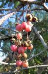 Peruanischer Pfefferbaum Frucht rot Blatt gruen Schinus molle 15