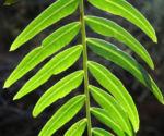 Peruanischer Pfefferbaum Frucht rot Blatt gruen Schinus molle 20