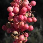Peruanischer Pfefferbaum Frucht rot Blatt gruen Schinus molle 24