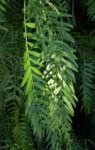 Peruanischer Pfefferbaum Frucht rot Blatt gruen Schinus molle 25