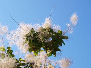 Perueckenstrauch weiss gruen Blatt Samen Cotinus coggygria 01