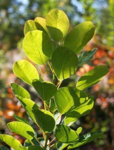 Perueckenstrauch weiss gruen Blatt Samen Cotinus coggygria 04
