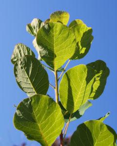 Perueckenstrauch weiss gruen Blatt Samen Cotinus coggygria 08
