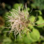 Perueckenstrauch weiss gruen Blatt Samen Cotinus coggygria 10