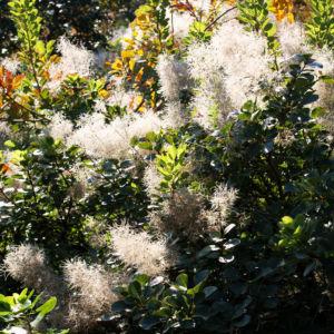 Perueckenstrauch weiss gruen Blatt Samen Cotinus coggygria 12