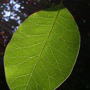 Bild: Perueckenstrauch Cotinus coggygria