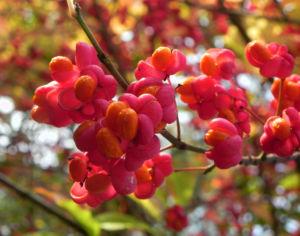 Pfaffenhuetchen Strauch Bluete orange rot Euonymus europaeus 02
