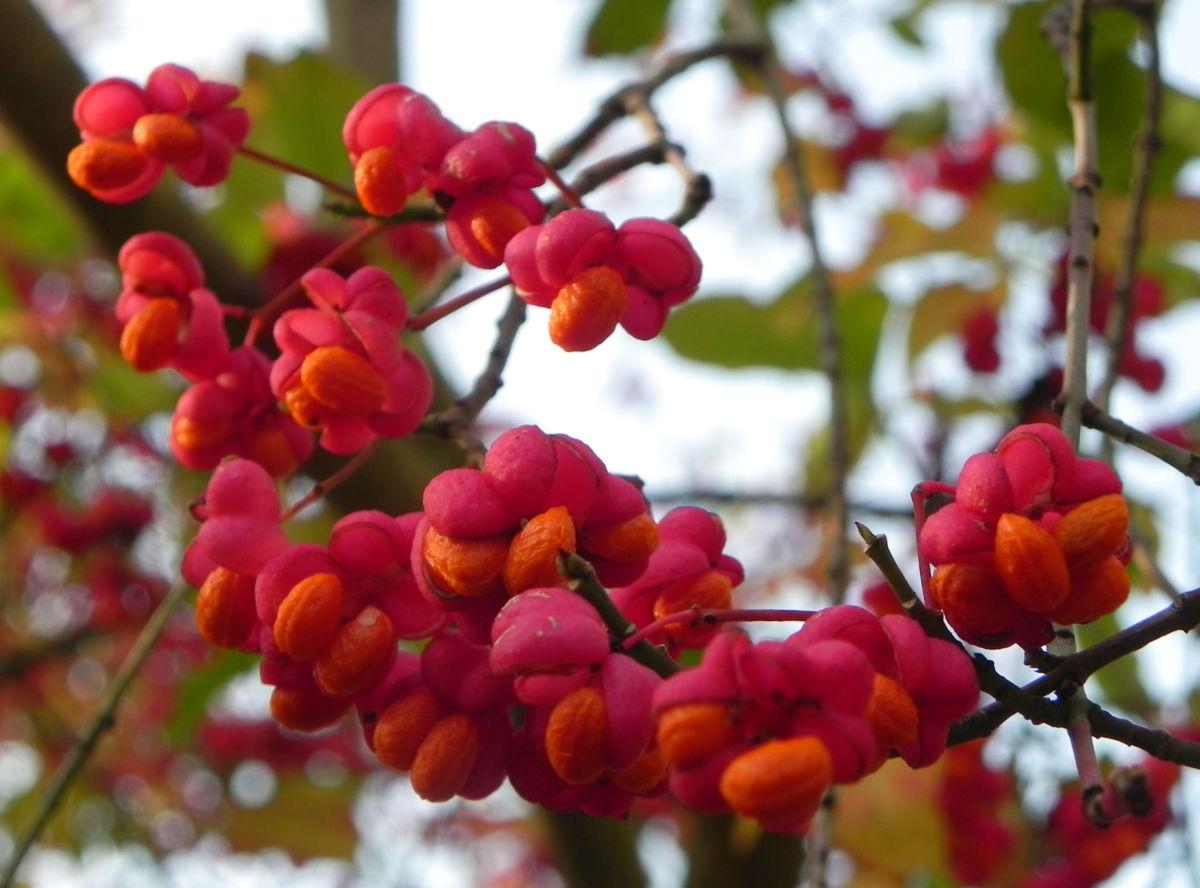 Pfaffenhuetchen Strauch Bluete orange rot Euonymus europaeus