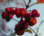 Bild: Pfaffenhütchen Strauch Blüte orange rot Euonymus europaeus