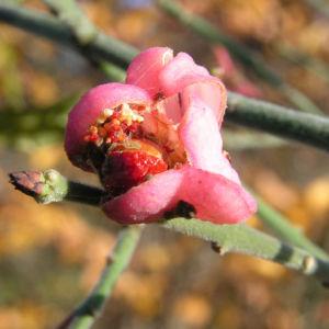 Pfaffenhuetchen Strauch Bluete rose Euonymus velutinus 01