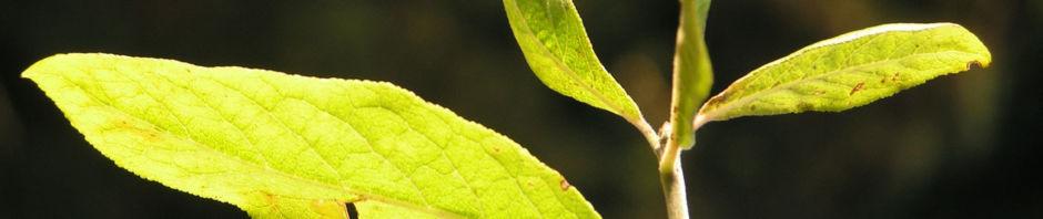 samtiger-spindelstrauch-strauch-bluete-rose-euonymus-velutinus