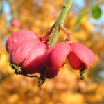 Pfaffenhuetchen Strauch Bluete rose Euonymus velutinus 04