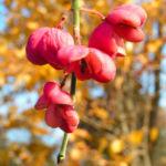 Pfaffenhuetchen Strauch Bluete rose Euonymus velutinus 05