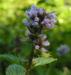 Zurück zum kompletten Bilderset Pfefferminze Blüte hellblau Mentha x piperita