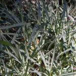 Pfingst Nelke Blatt silber gruen Dianthus gratianopolitanus 02