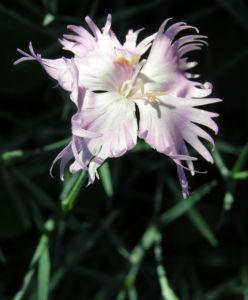 Pfingst Nelke Bluete pink Dianthus Gratianopolitanus 02