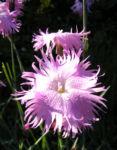 Pfingst Nelke Bluete pink Dianthus Gratianopolitanus 03