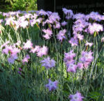 Pfingst Nelke Bluete pink Dianthus Gratianopolitanus 04