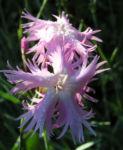 Pfingst Nelke Bluete pink Dianthus Gratianopolitanus 09