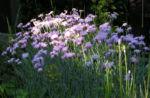 Pfingst Nelke Bluete pink Dianthus Gratianopolitanus 10