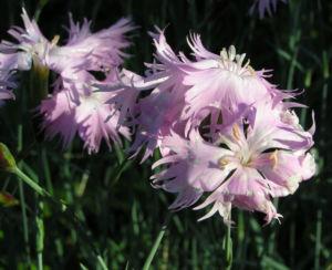 Pfingst Nelke Bluete pink Dianthus Gratianopolitanus 12