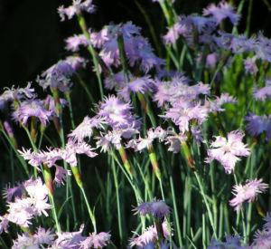 Pfingst Nelke Bluete pink Dianthus Gratianopolitanus 15