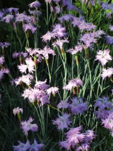 Pfingst Nelke Bluete pink Dianthus Gratianopolitanus 16