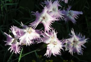 Pfingst Nelke Bluete pink Dianthus Gratianopolitanus 17