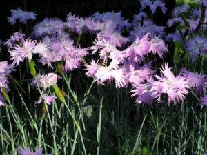 Pfingst Nelke Bluete pink Dianthus Gratianopolitanus 21